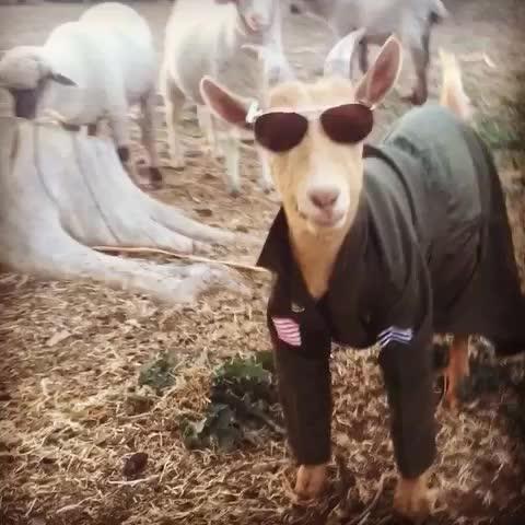 Top Goat -- call sign TOTESMAGOATS #totesmagotes #goatvines #goat #topgun #TomCruise #maverick - Vine by Sara the Sheep Lady - Top Goat -- call sign TOTESMAGOATS #totesmagotes #goatvines #goat #topgun #TomCruise #maverick