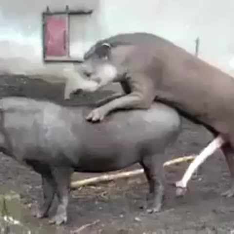 Как ебутся самец и самка носорога