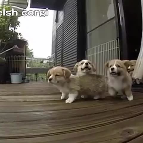 Vine by Cute Emergency - LOOK AT THOSE EARS FLOPPING AROUND. #corgi #puppy #dog #pup #puppies #cute #love #cuteness #socute #animals