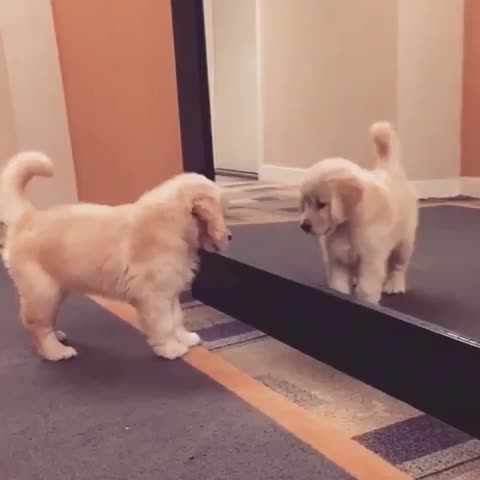 Vine by Puppy Planet! - Pup sees his reflection 😂😭