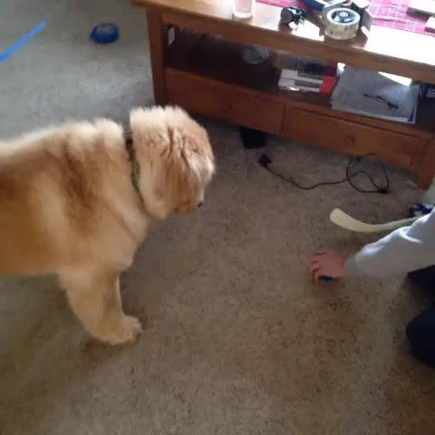 I trained my dog to be Andrew MacDonald - Vine by Philadelphia Flyera - I trained my dog to be Andrew MacDonald