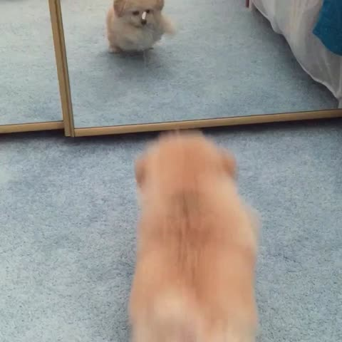 Vine by Christine Harris - #Loki isnt quite sure what to think.. #puppy #puppiesofvine #toypoodlelove #mirrors