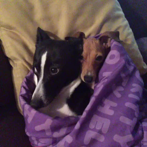Italian Greyhound On Tumblr