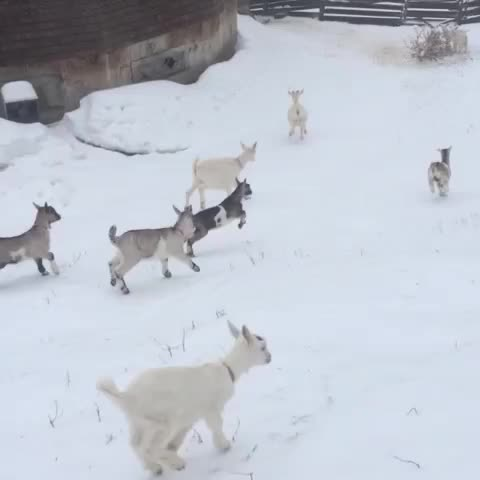 Vine by maidinvermont - A stampede of babies. #babygoats #goatvines