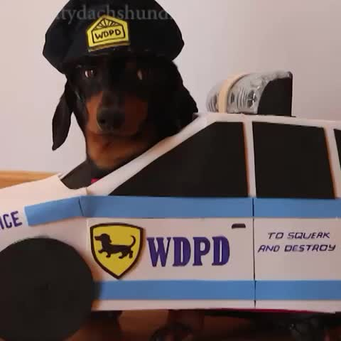 """Vine by Crusoe Celebrity Dachshund - """"FREEZE, WDPD!"""" #copsandrobbers"""