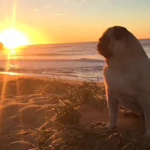 Vine by Breezy Pug - #breezy #pug had a great #walk today. The #sunrise was #beautiful . #puglife  #surfing #fitlife #fitness #fitnessmodel #australia #sydney