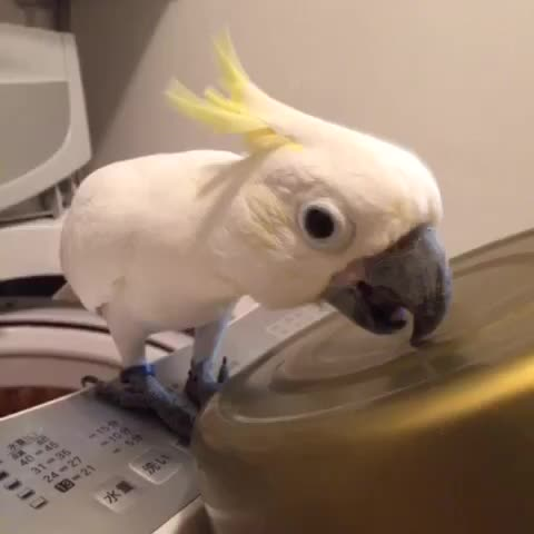いつものリズム #コバタン #parrot - Vine by Coo - いつものリズム #コバタン #parrot