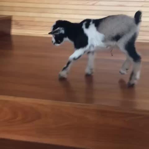 Vine by Baby Goats - SO CUTE 😍😍😍 #animals #animalsofvine #babygoat #cuteanimals #goat #likeforlike #revineThis #revine #likeforfollow #likeforlike