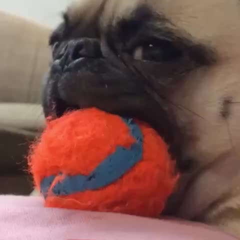 Vine by PoDo - Sorry Mochi the Pug  I was just kidding.