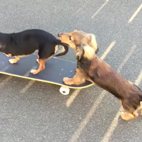 Vine by Sadie & Knox - This is what best friends are for. #SkaterPups #RollinUpLike #SadieTripawd #KnoxTheDox (Beggin Strips skateboard!)