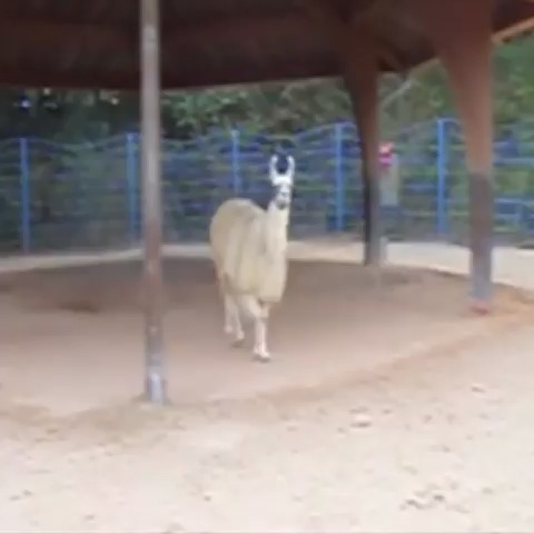 If u aint talkin money  #llama - Just LoLzs post on Vine