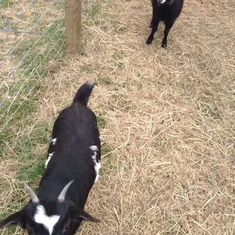 Fainting goats - Joey Newtons post on Vine