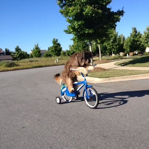 I love riding my bike.  I also ride a scooter and skateboard. - Norman Scooter Dogs post on Vine